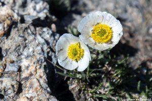 Renoncule de Séguier (fleur de montagne) - Queyras, Hautes-Alpes