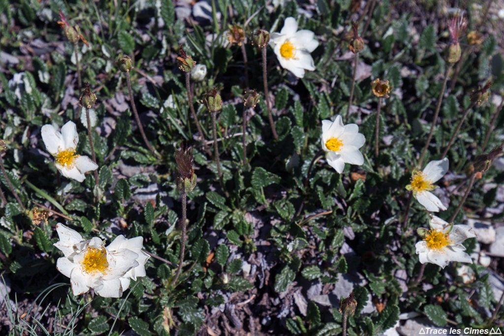 Dryades à huit pétales (fleur de montagne) - Queyras, Hautes-Alpes
