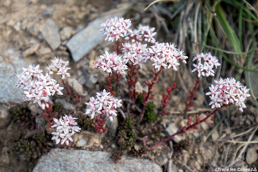 Orpin blanc (fleur de montagne) - Queyras, Hautes-Alpes