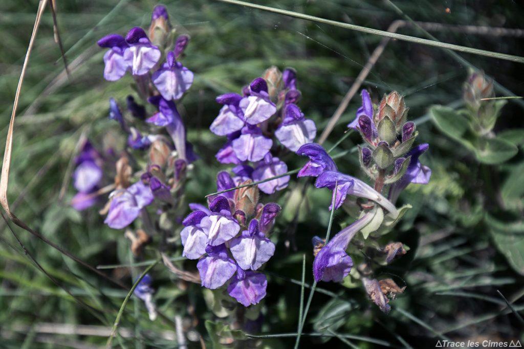 Brunelle (fleur de montagne) - Queyras, Hautes-Alpes