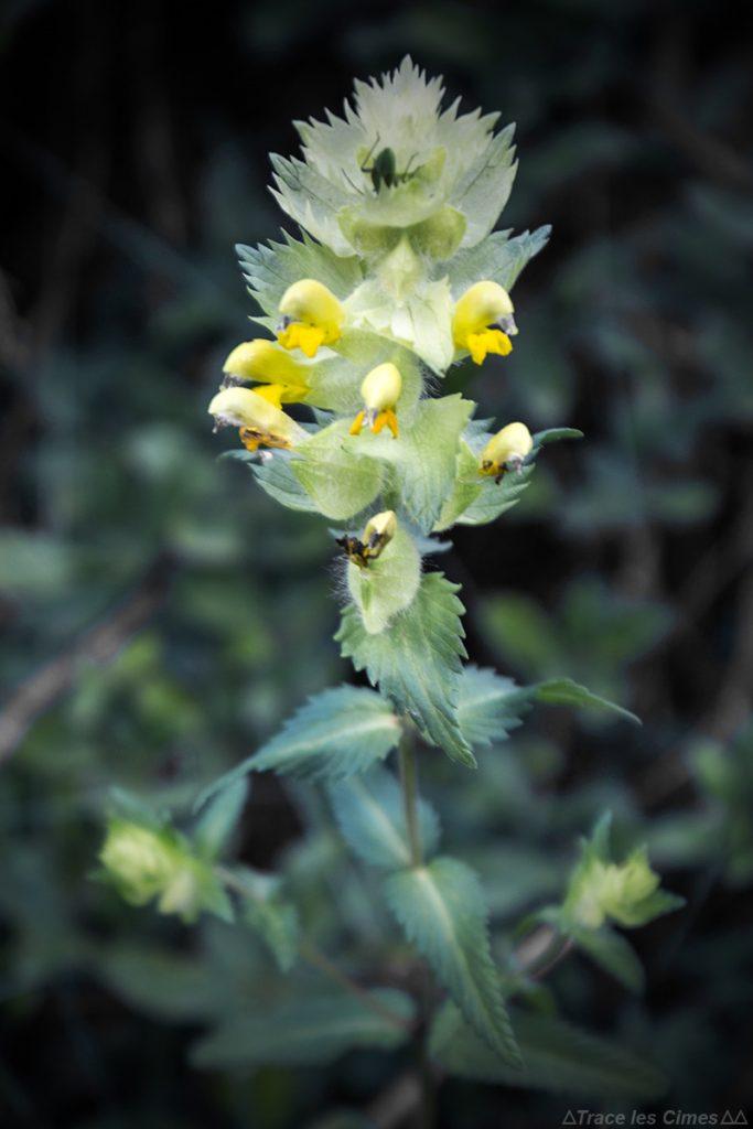 Rhinanthe crête de coq (fleur de montagne) - Queyras, Hautes-Alpes