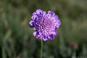 Scabieuse (fleur de montagne) - Queyras, Hautes-Alpes