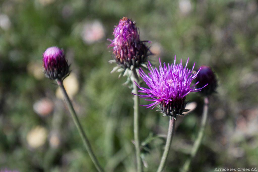 Cirse hétérophylle (fleur de montagne) - Queyras, Hautes-Alpes