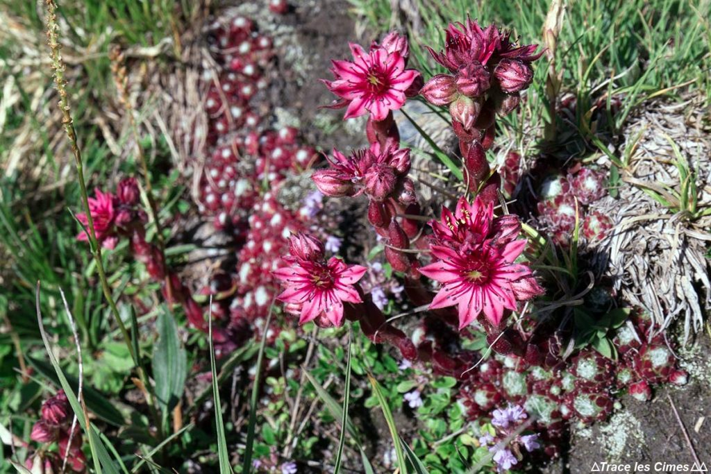 Joubarbe des montagnes (fleur de montagne) - Queyras, Hautes-Alpes