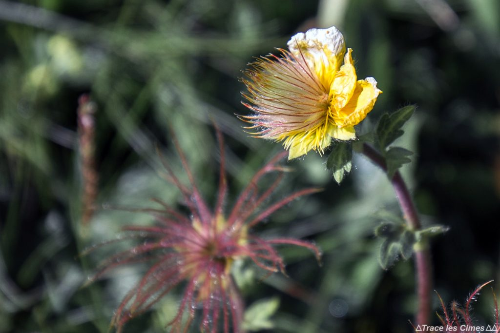 Anémone pulsatille (fleur de montagne) - Queyras, Hautes-Alpes