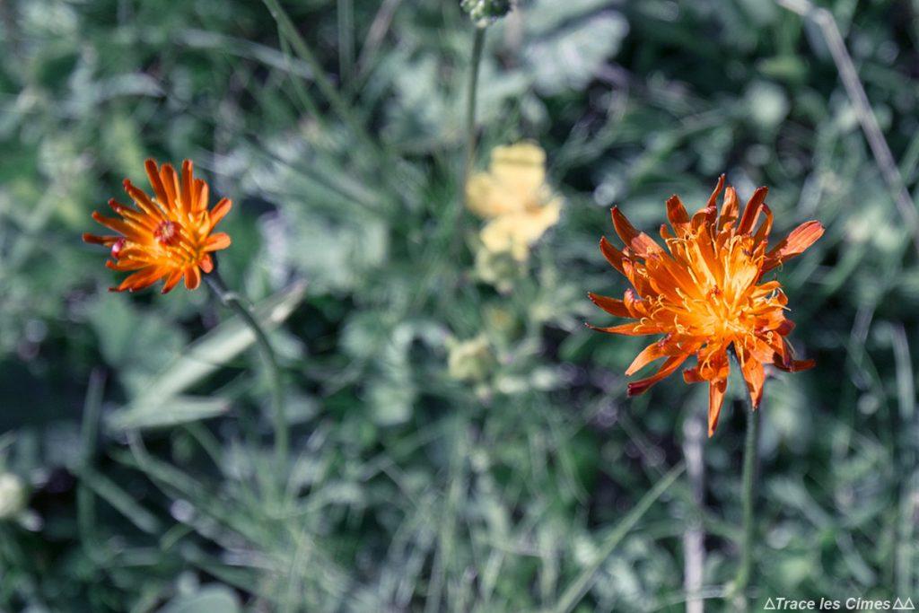 Crépide orangée (fleur de montagne) - Queyras, Hautes-Alpes