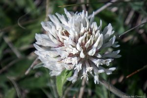 Trèfle des Alpes (fleur de montagne) - Queyras, Hautes-Alpes