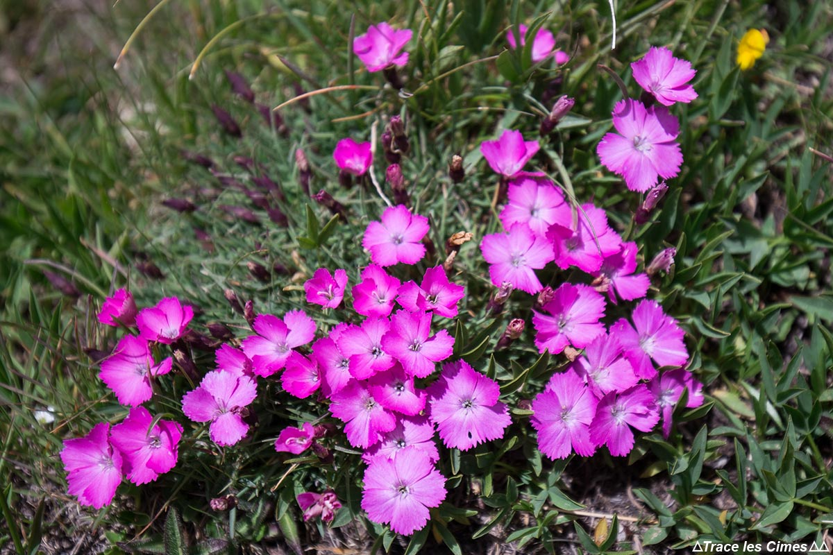 Oeillets des glaciers (fleur de montagne) - Queyras, Hautes-Alpes