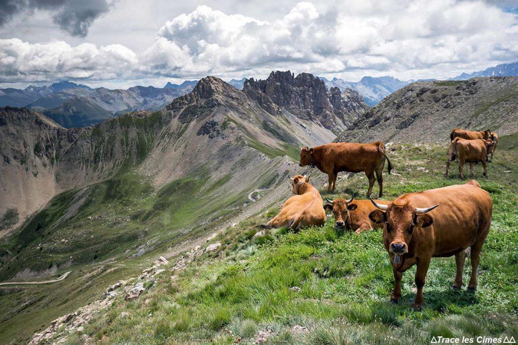 Vaches tarines dans les alpages de montagne avec le Col de Furfande en fond - Queyras, Hautes-Alpes