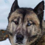 chiens de traineaux blog voyages