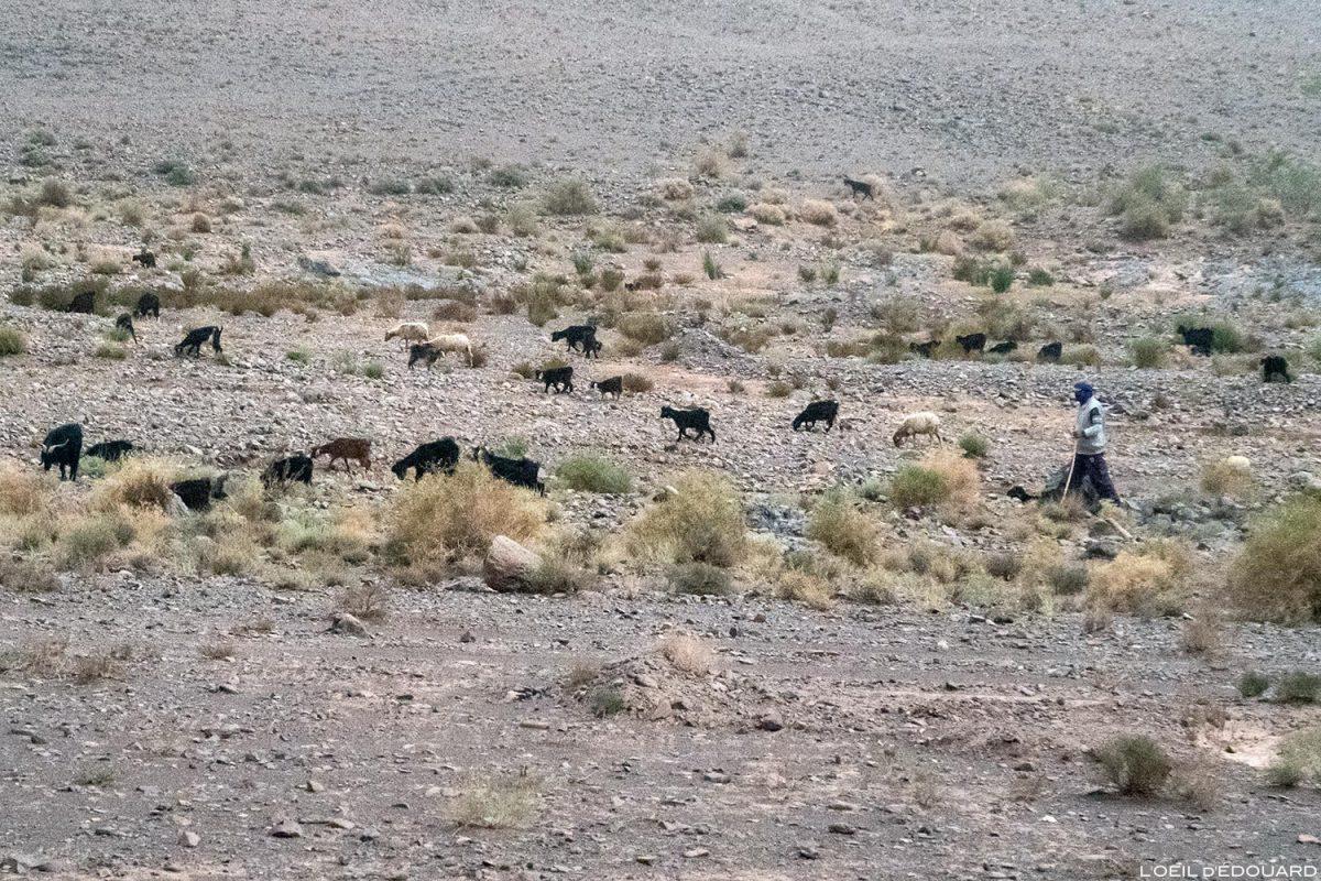 Berger marocain et ses chèvres
