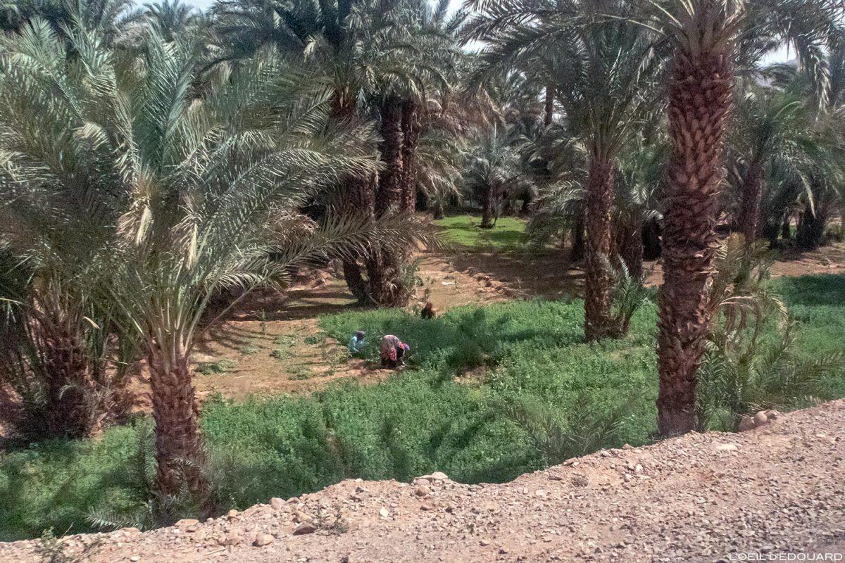 Cultivatrices dans une palmeraie sur le bord de la route N9 dans la Vallée du Draâ, Maroc