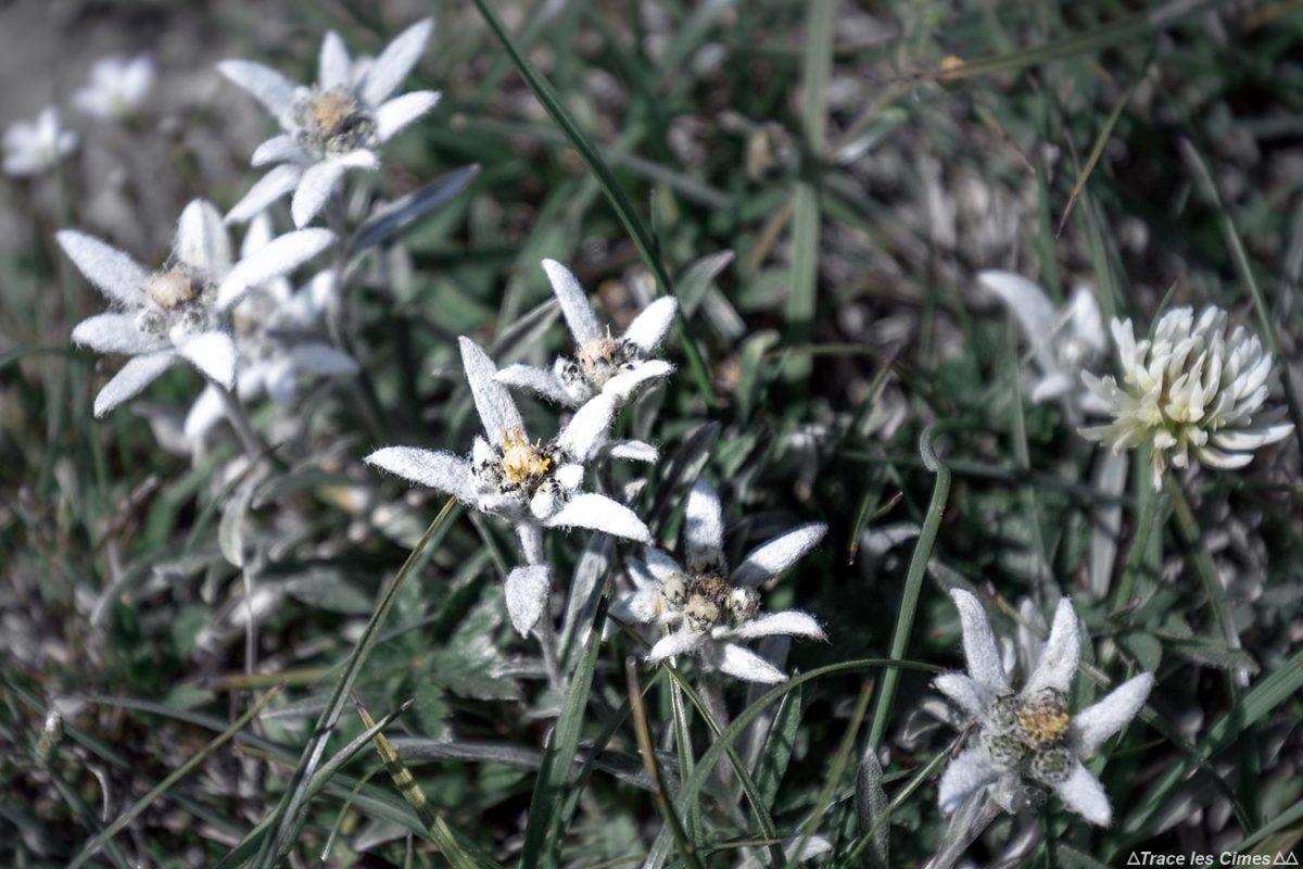 Edelweiss au Pas des Bachassons - Sommet de Montaveilla, Vercors