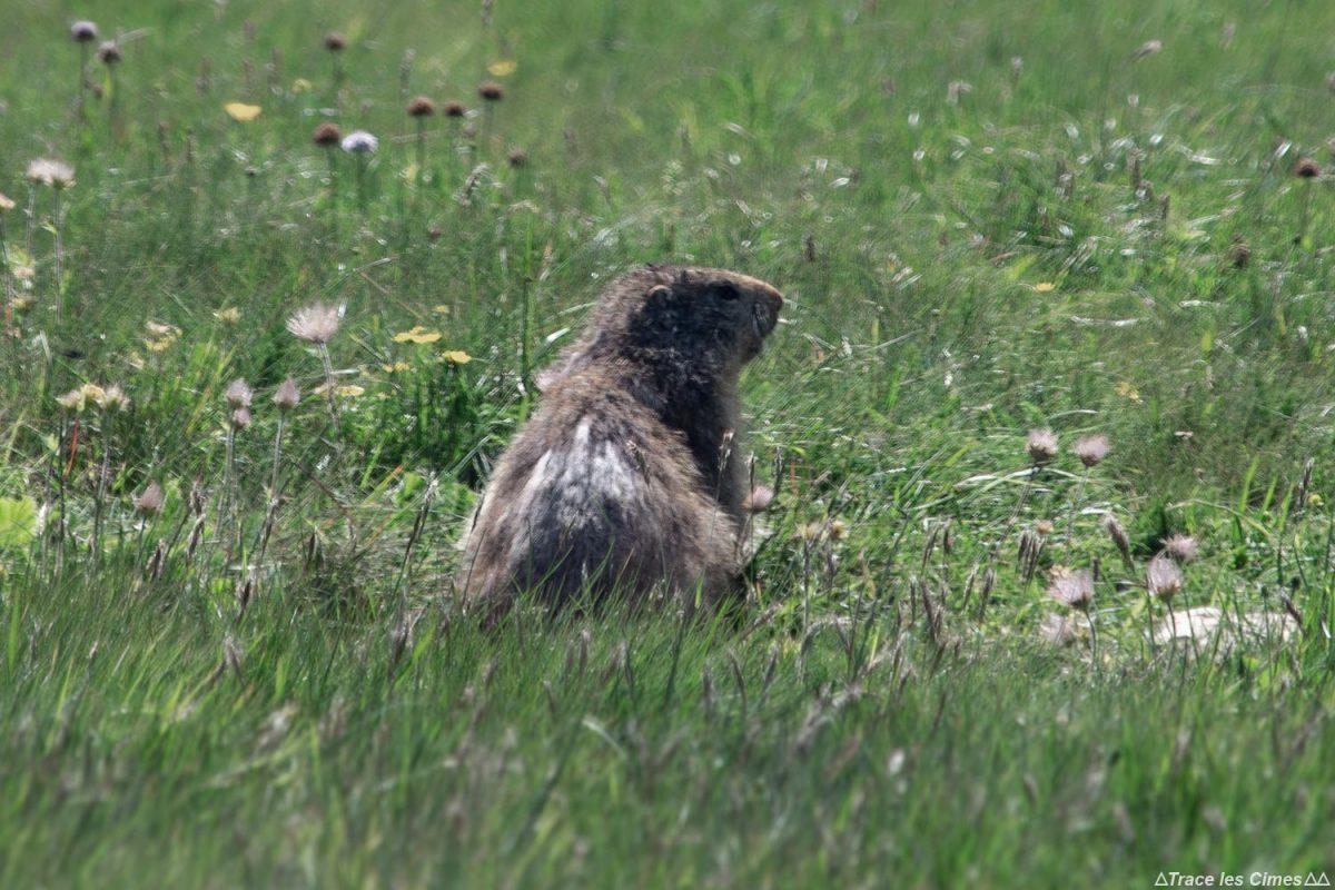 Marmotte aux Aiguillettes du Grand Veymont, Vercors