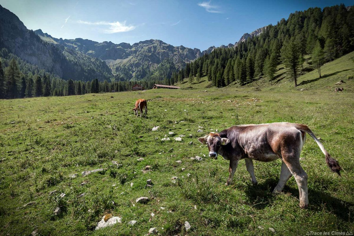 Vache à la ferme Malga Monzoni dans les Dolomites, Italie / Dolomiti Italia
