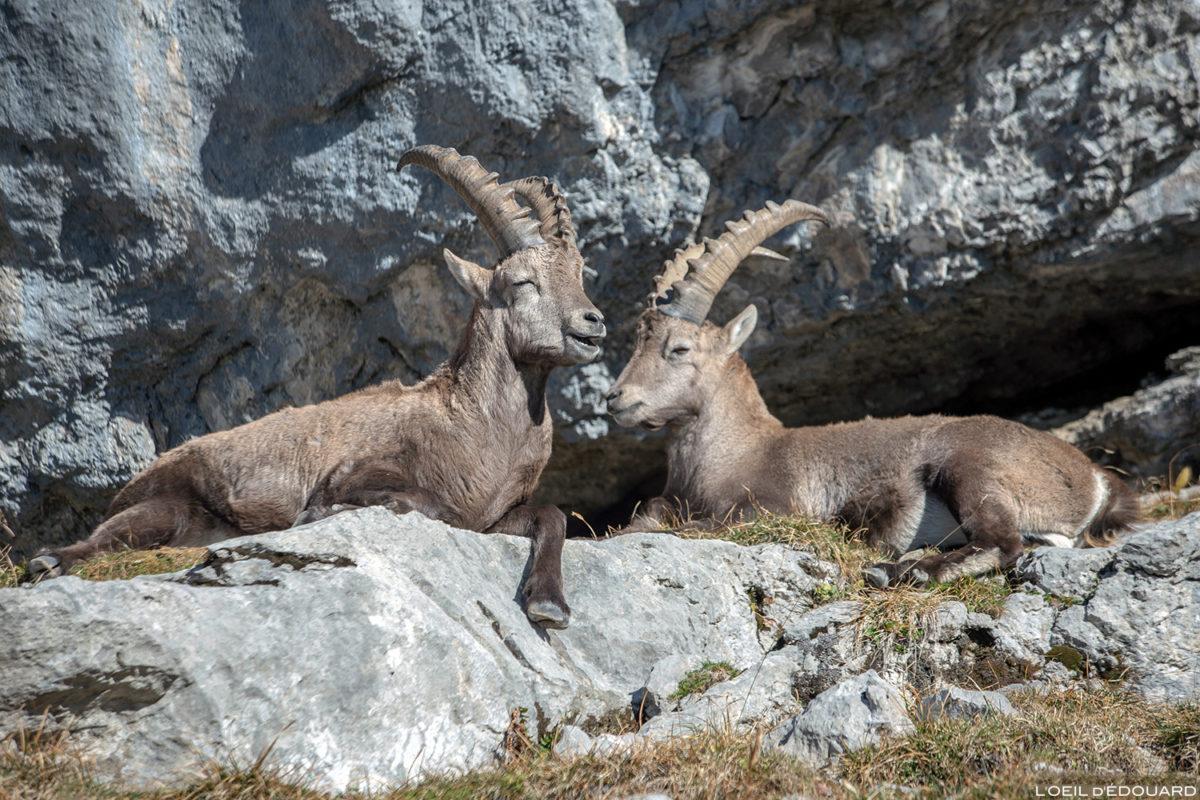 Bouquetins à la Pointe Percée, Massif des Aravis / Haute-Savoie