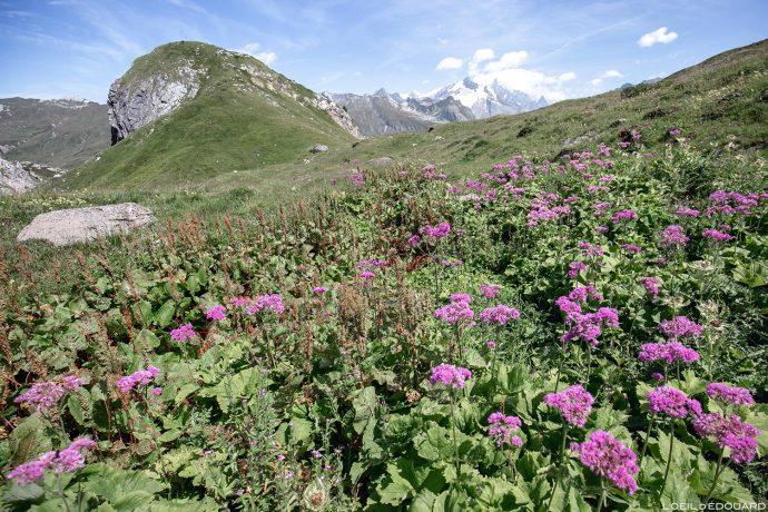 Champ de fleurs de montagne : Adénostyle à feuilles d'Alliaire - Combe de la Neuva, Cormet de Roselend, Le Beaufortain Savoie Alpes