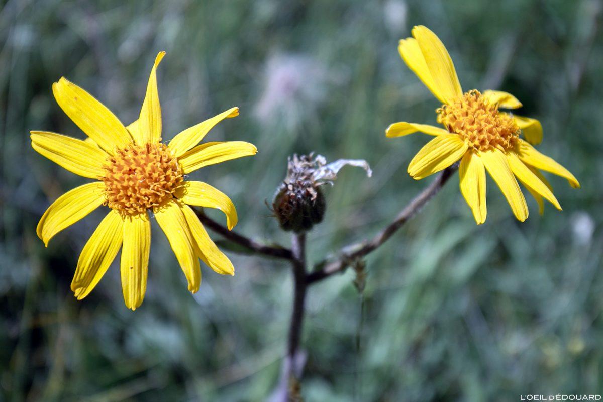 Fleurs de montagne : Arnica des montagnes - Alpes / Mountain flowers
