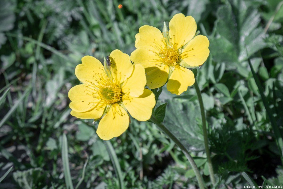 Fleurs de montagne : Benoîte des montagnes - Alpes / Mountain flowers