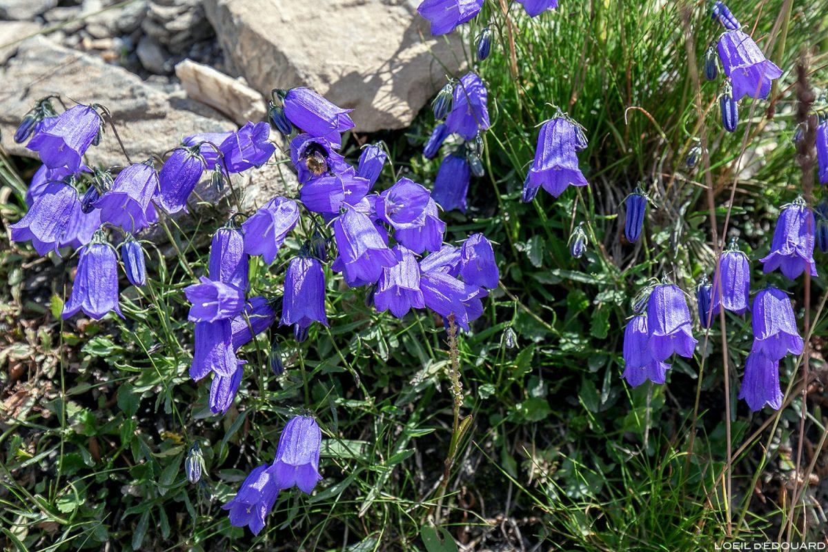 Fleurs de montagne : Campanule fluette - Alpes / Mountain flowers