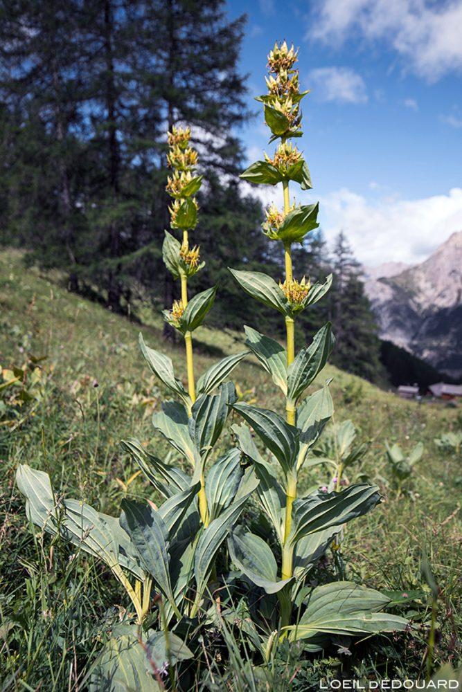 Fleurs de montagne : Grande Gentiane Jaune - Alpes / Mountain flowers