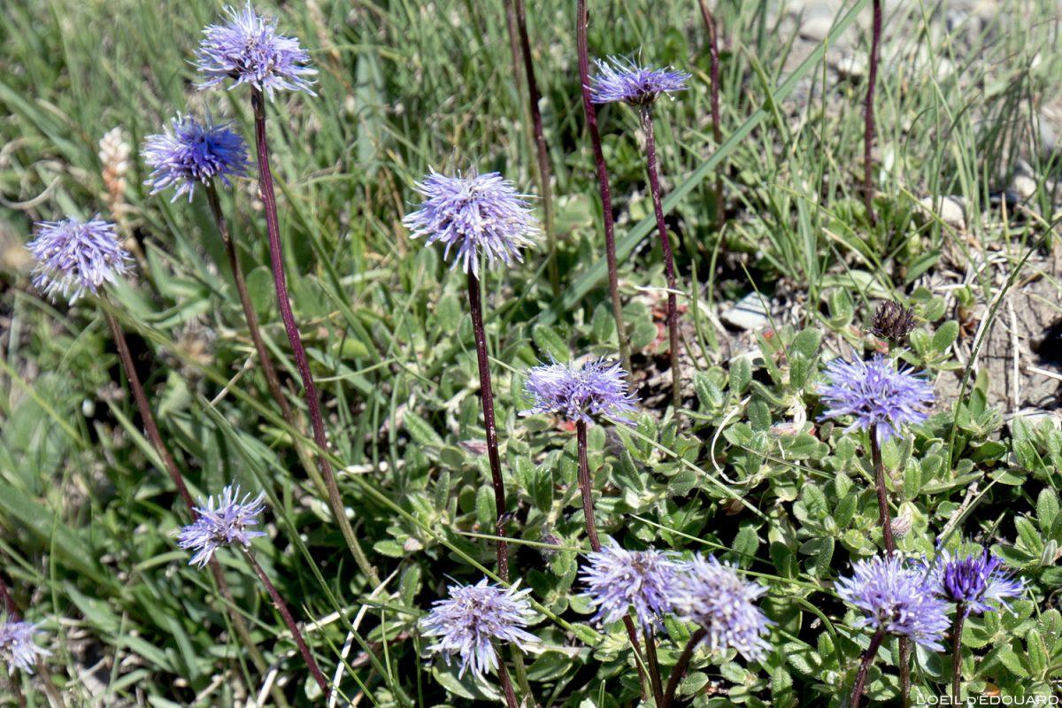 Fleurs de montagne : Globulaire à feuilles à cœur - Alpes / Mountain flowers