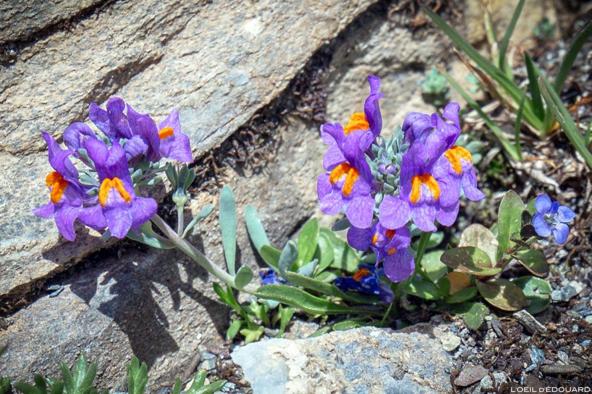 Fleurs de montagne : Linaire des Alpes / Mountain flowers