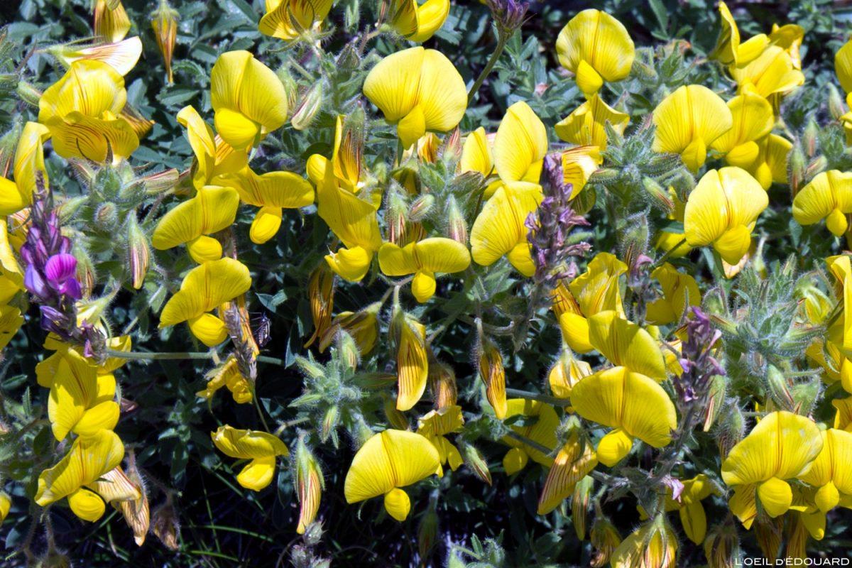 Fleurs de montagne : Lotier des Alpes / Mountain flowers