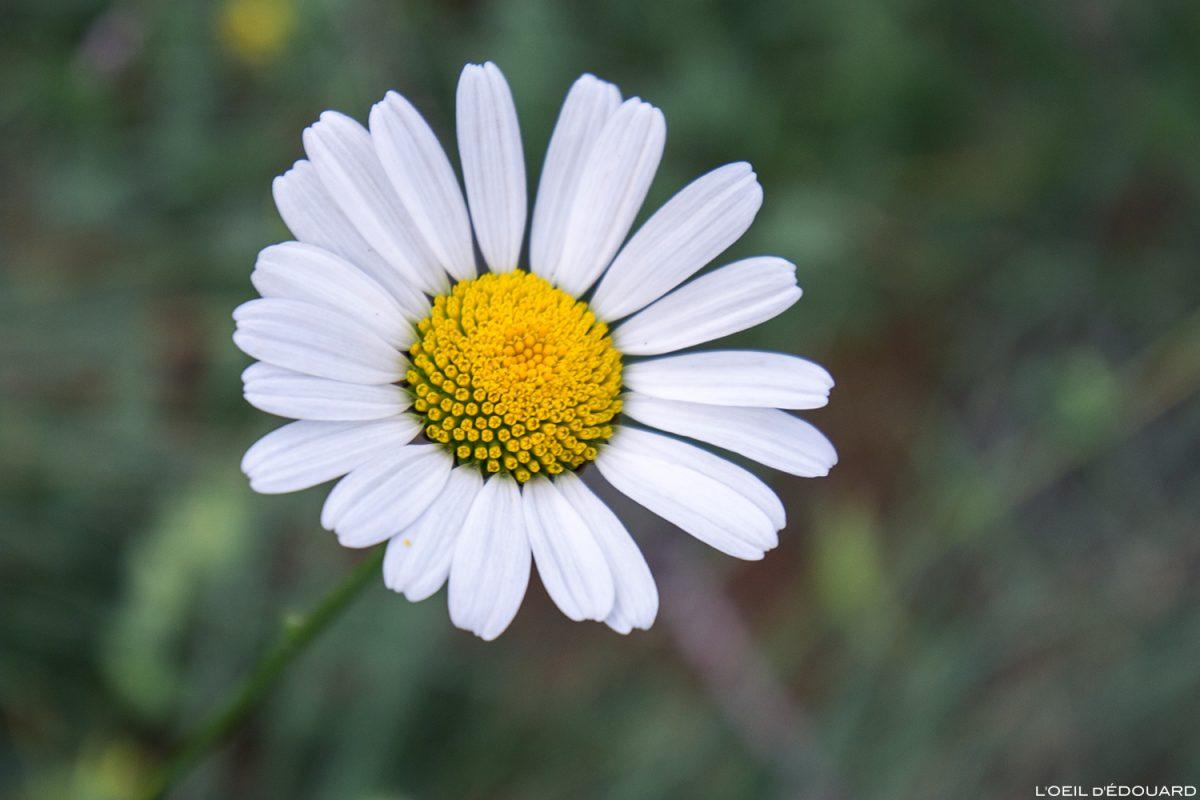 Fleur de montagne : Marguerite des Alpes / Mountain flower