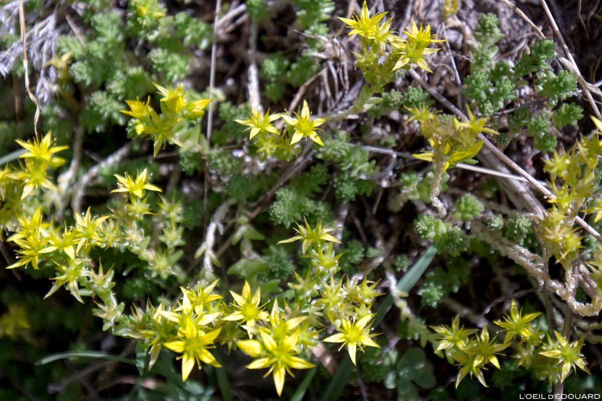 Fleurs de montagne : Orpin âcre (Poivre des murailles) - Alpes / Mountain flowers