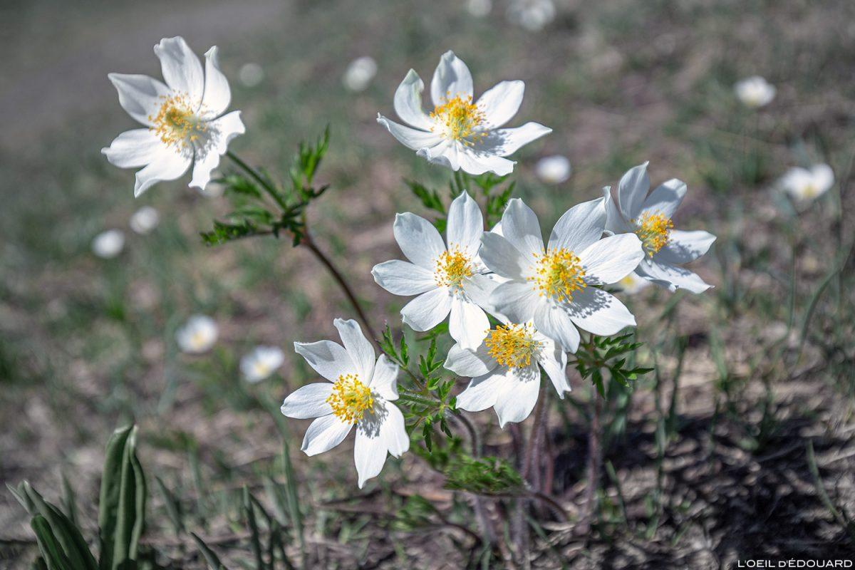 Fleurs de montagne : Pulsatille Blanche (Pulsatilla alba) Massif de la Vanoise, Montagne Alpes Mountain flowers