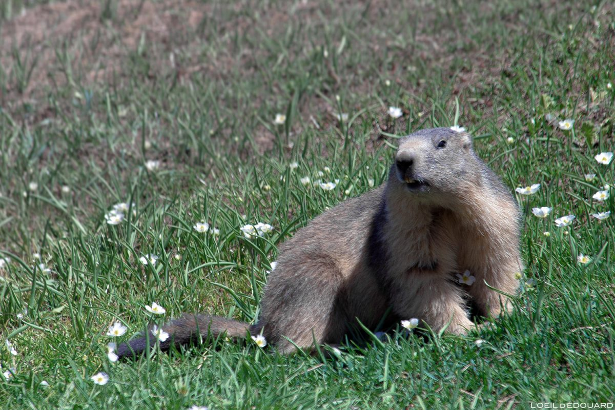 Animal de montagne : Marmotte, Massif de la Vanoise, Alpes Mountain animal
