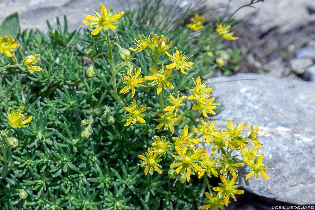 Fleurs de montagne : Saxifrage faux-Aïzoon - Alpes / Mountain flowers