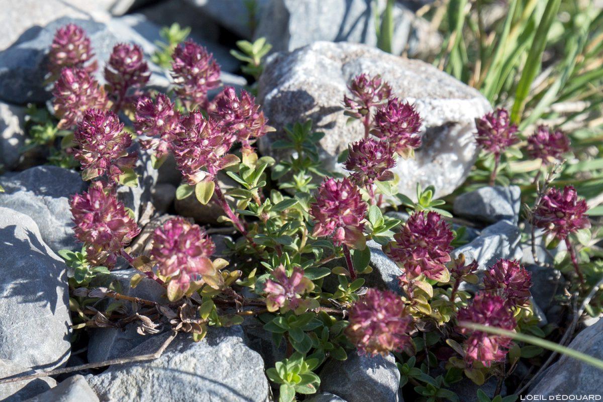 Fleurs de montagne : Serpolet (Thym des Alpes) / Mountain flowers