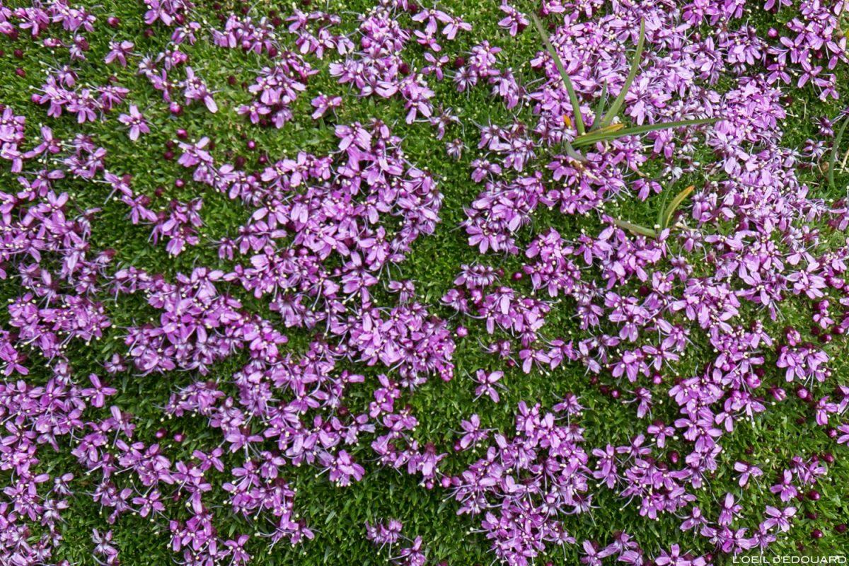 Fleurs de montagne : Silène acaule - Alpes / Mountain flowers