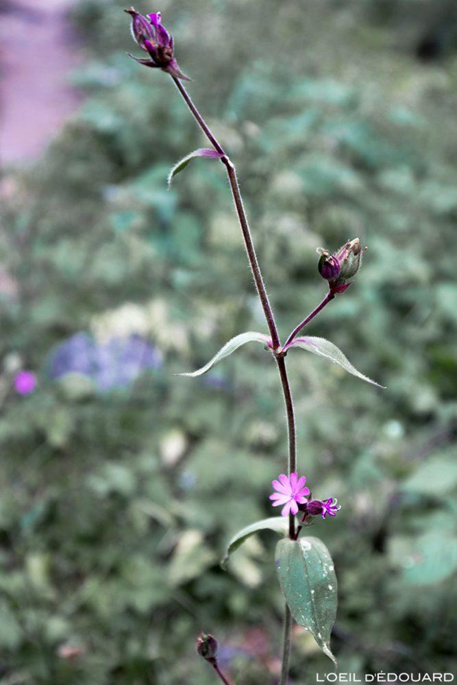 Fleurs de montagne : Silène dioïque - Alpes / Mountain flowers