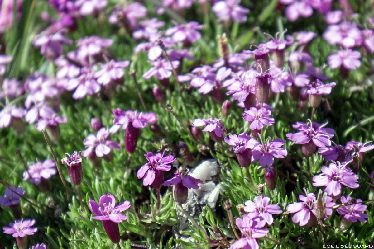 Fleurs de montagne : Silène des Glaciers - Alpes / Mountain flowers
