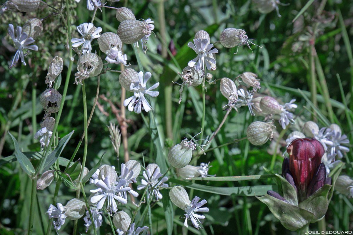 Fleurs de montagne : Silène vulgaris - Alpes / Mountain flowers