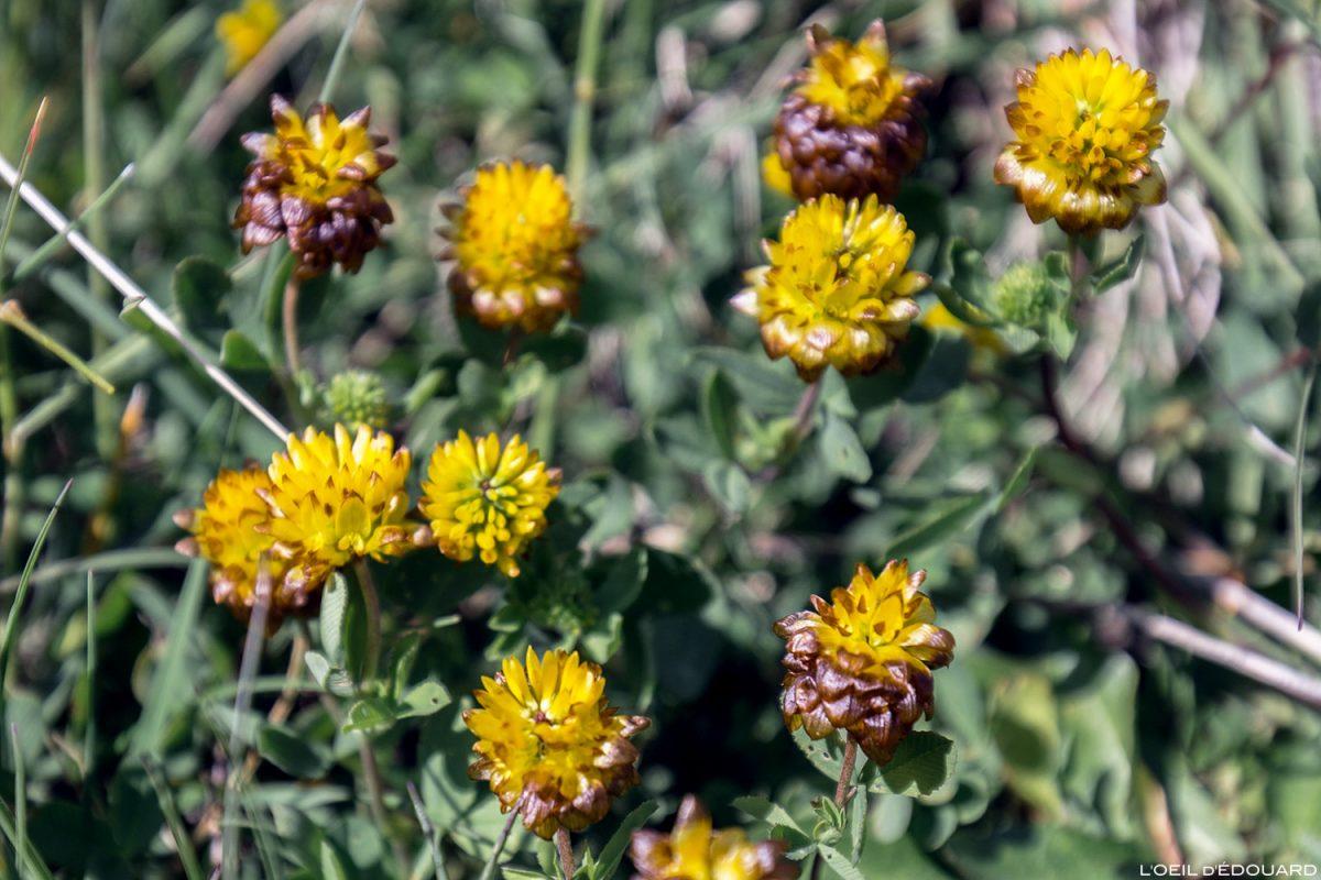 Fleurs de montagne : Trèfle Bai - Alpes / Mountain flowers