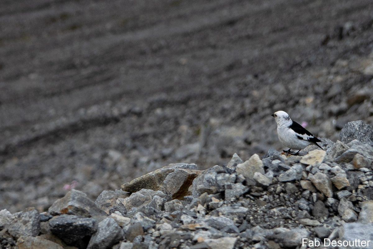 Oiseau Trek Laugavegur Landmannalaugar Thorsmörk Islande Montagne Trekking Iceland Bird Mountain Islensk Outdoor Wild