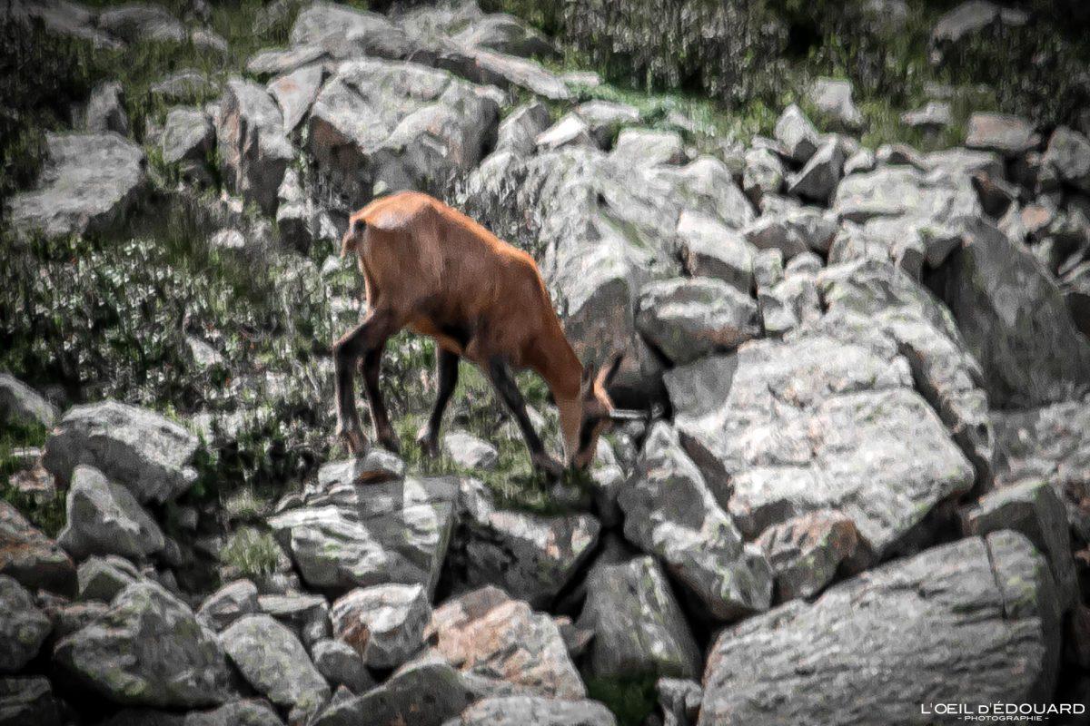 Chamois - Massif du Mercantour Alpes-Maritimes Provence-Alpes-Côte d'Azur / Montagne Randonnée Trek Outdoor Mountain Hike Hike Trekking Wild animal