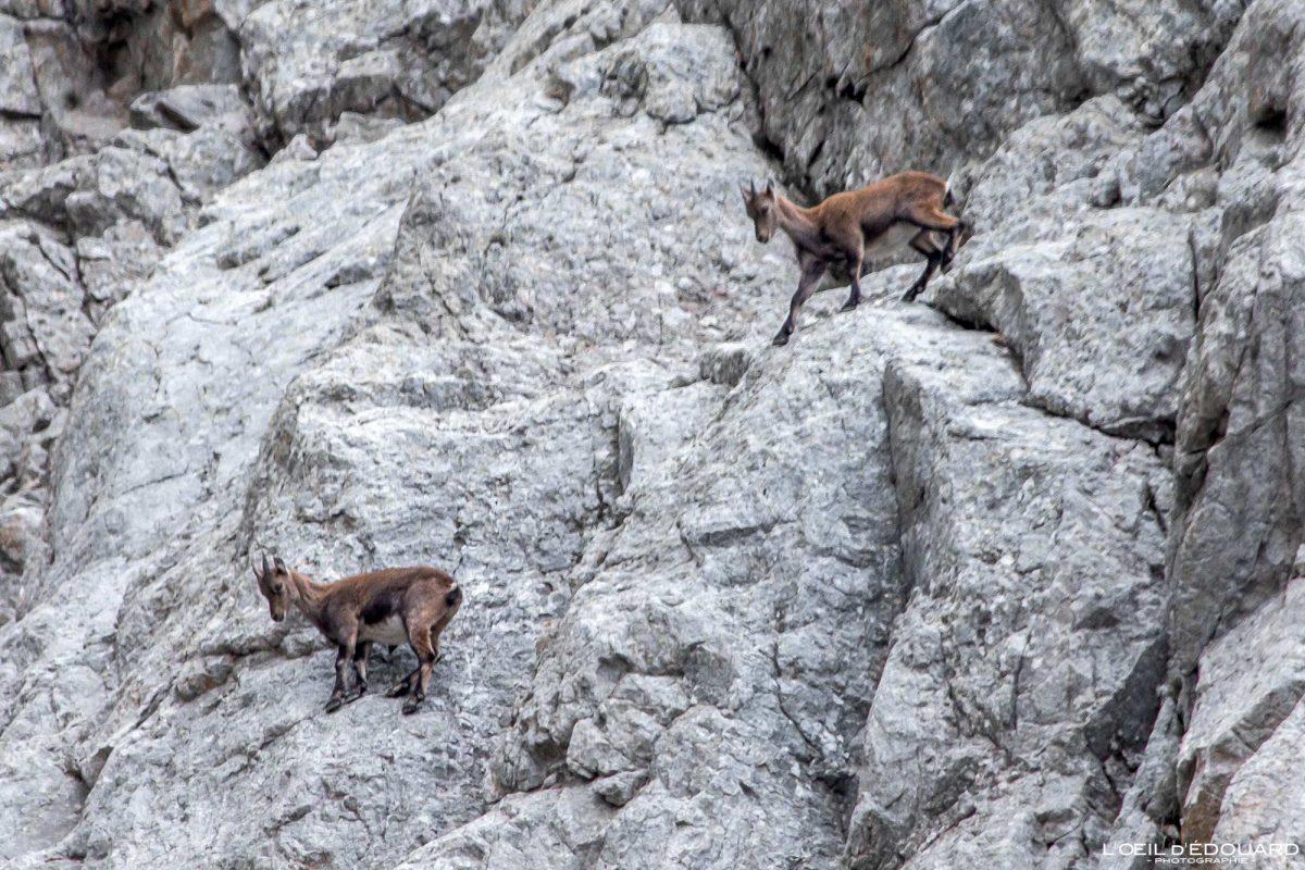 Eterlou Chamois - Massif du Mercantour Alpes-Maritimes Provence-Alpes-Côte d'Azur / Montagne Randonnée Trek Outdoor Mountain Hike Hike Trekking Wild animal