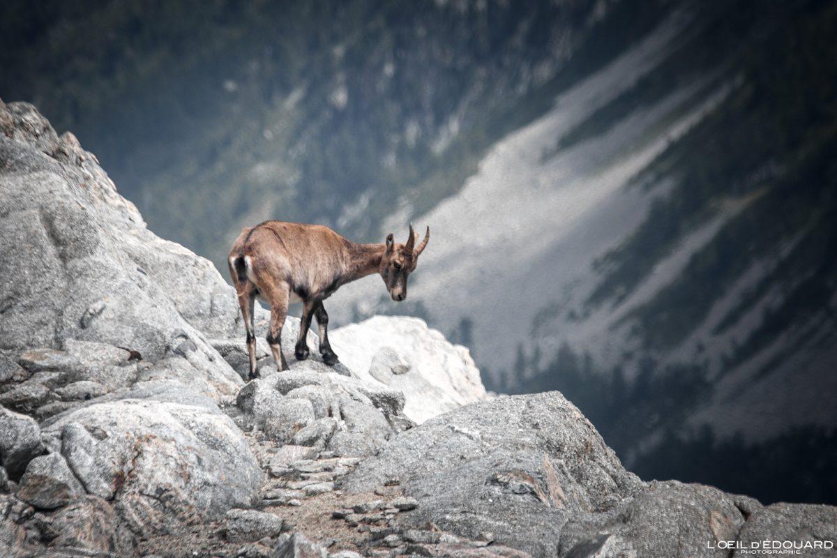 Etagne Bouquetin - Massif du Mercantour Alpes-Maritimes Provence-Alpes-Côte d'Azur / Montagne Randonnée Trek Outdoor Mountain Hike Hike Trekking Wild animal