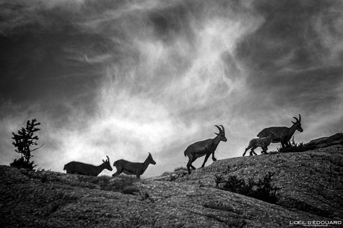Famille de Bouquetins - Massif du Mercantour Alpes-Maritimes Provence-Alpes-Côte d'Azur / Montagne Randonnée Trek Outdoor Mountain Hike Hike Trekking Wild animals