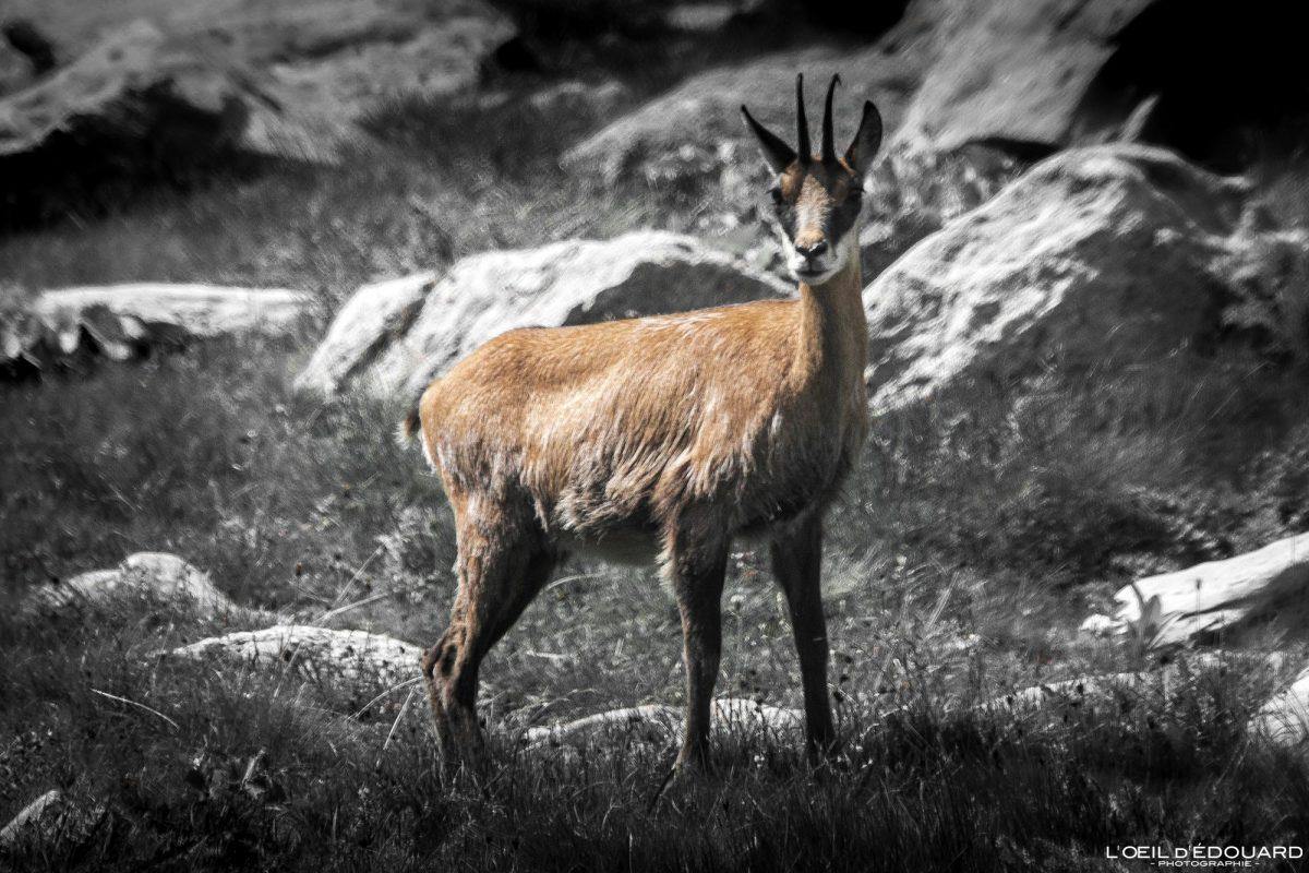 Chamois - Massif du Mercantour Alpes-Maritimes Provence-Alpes-Côte d'Azur / Montagne Outdoor Mountain Wild Animal