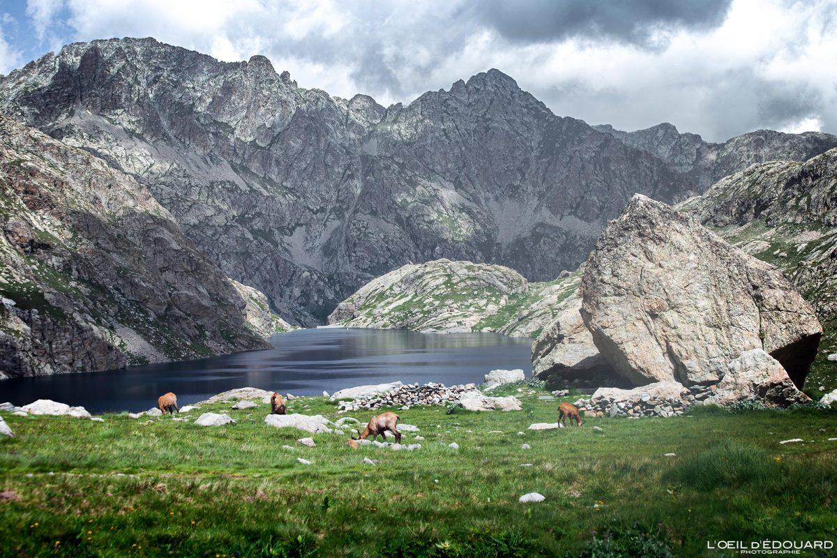 Chamois Lac du Basto - Massif du Mercantour Alpes-Maritimes Provence-Alpes-Côte d'Azur / Paysage Montagne Randonnée Trek Outdoor Landscape Mountain lake Hike Hike Trekking wild animals