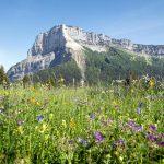 Prairie fleurs de montagne - Col du Granier Mont Granier Massif de la Chartreuse Savoie Alpes France - Mountain Flowers French Alps Outdoor