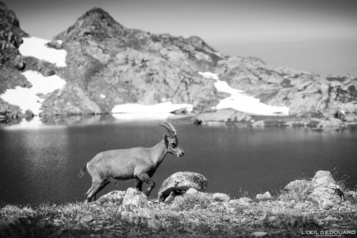 Bouquetin Lac du Petit Domènon Belledonne Isère Alpes France Paysage Montagne Outdoor hike hiking French Alps Lake Mountain Wild Animals Ibex