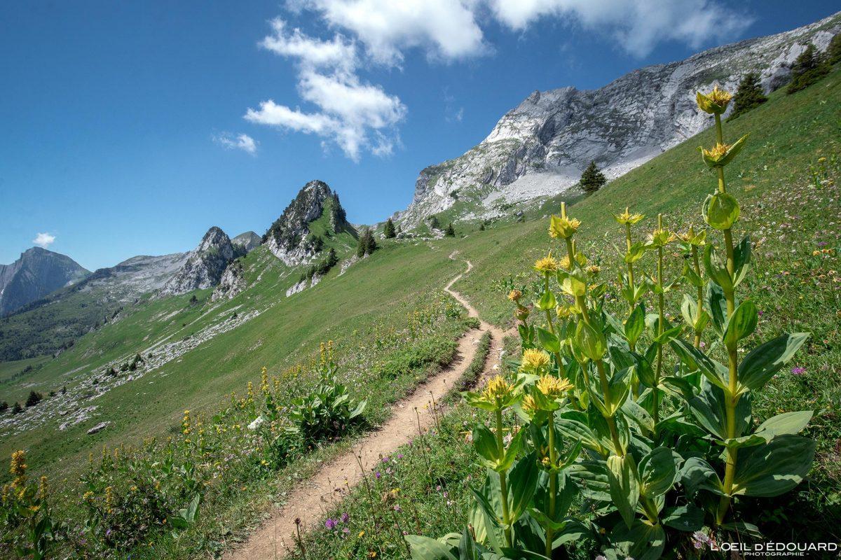 Grande Gentiane Jaune Randonnée Col d'Orgeval Massif des Bauges Savoie Alpes France Paysage Fleur Montagne - Landscape Mountain Flower French Alps Outdoor Hike Hiking Trail