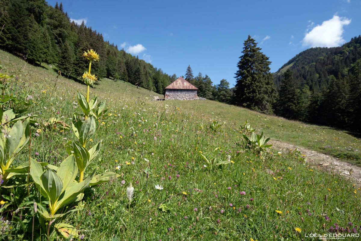 Grande Gentiane Jaune et Chalet d'Alpage - randonnée Col d'Orgeval Massif des Bauges Savoie Alpes France Paysage Montagne - Flower Mountain Landscape French Alps Outdoor Hike Hiking